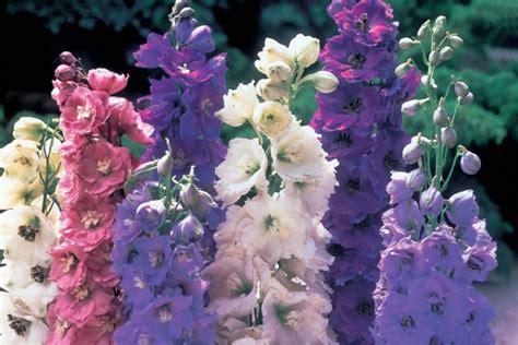 delphinium varieties flora pinterest