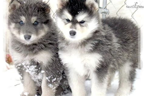 wolf puppies for adoption image gallery husky wolf puppies adoption