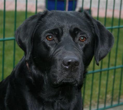 Suchen Und Kaufen by Labrador Retriever Welpen Vom Z 252 Chter Suchen Und Kaufen In