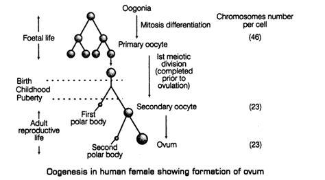 oogenesis flowchart human menstrual cycle diagram libido diagram elsavadorla