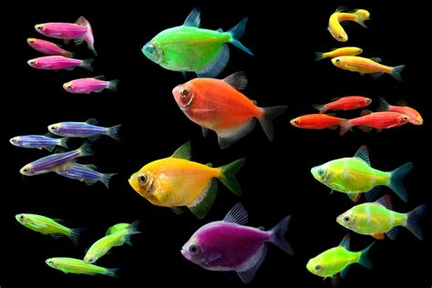 glofish colors ugh quot neon quot tetras and quot tutti frutti quot clawed frogs