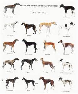 italian greyhound colors the world s catalog of ideas