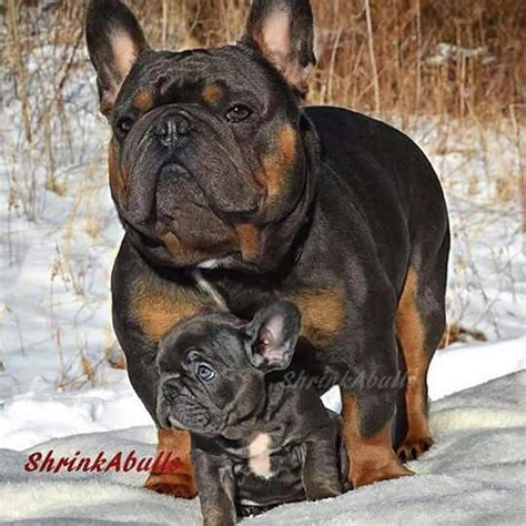 bulldogs colors tri color bulldog with tri color puppy all
