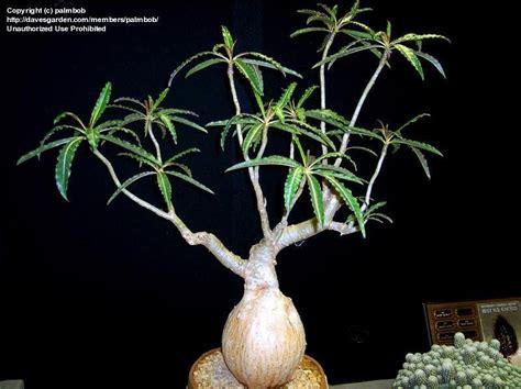 Adenium Somalense plantfiles pictures adenium adenium somalense by palmbob