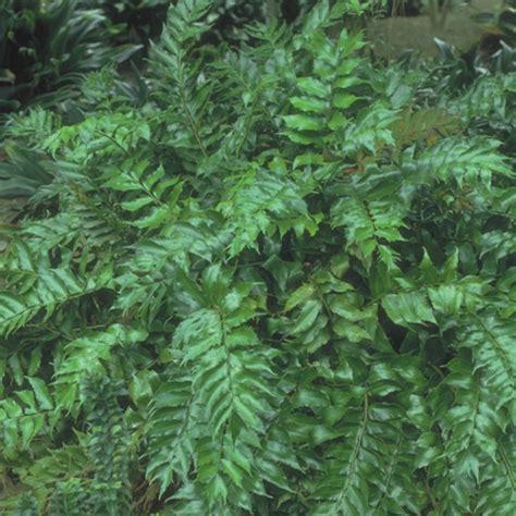 japanese holly fern casa flora