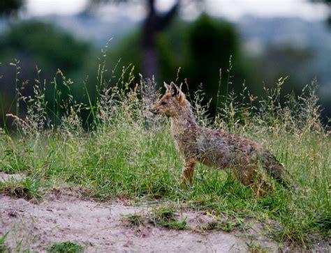 born jackal meaning side striped jackal monogamy is still alive londolozi blog
