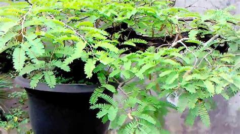 Bakalan Bonsai Asam Jawa bonsai asem jawa berbuah