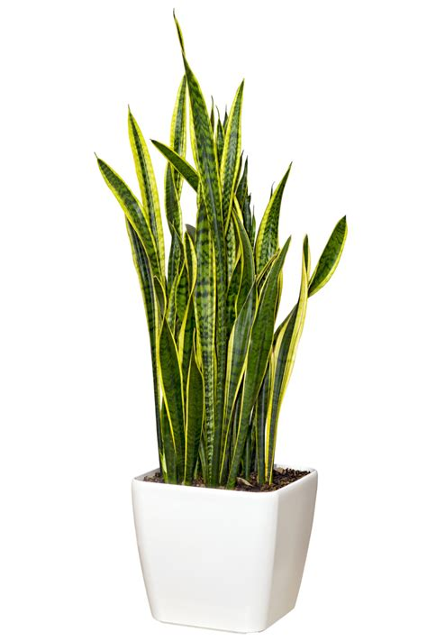 sansevieria trifasciata snake plant sansevieria mother in law s tongue my