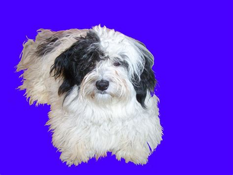 havanese puppies for sale vancouver adorable havanese purebred puppy for sale malahat