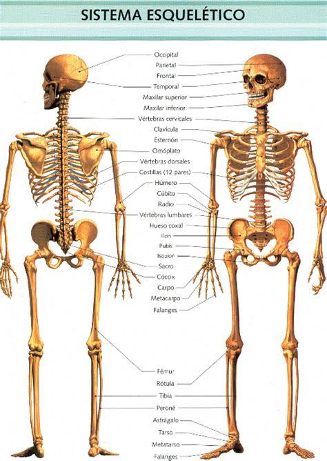 pelvis esqueleto humano frente cibertareas sistema oseo y sus partes imagui
