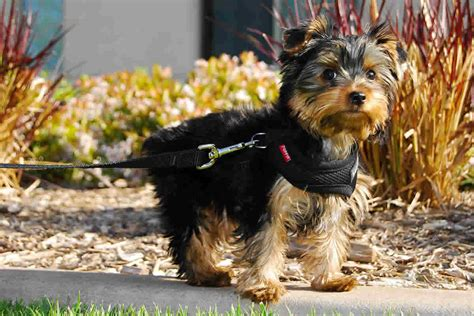 smallest yorkie breed small breeds terrier