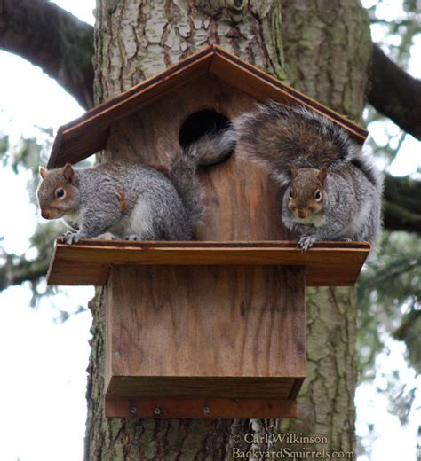 squirrel house squirrel house archives backyard squirrels com