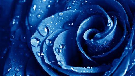 wallpaper mawar biru baground bunga mawar joy studio design gallery best design