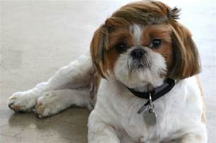 best haircut for shitzuh 7 popular shih tzu haircuts shihtzu wire