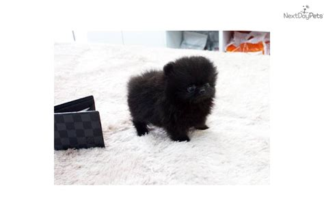 teacup pomeranian black micro teacup pomeranian black
