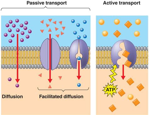 passive transport diagram how is facilitated diffusion different from active