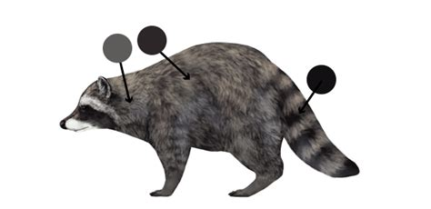 what color are raccoons how to draw animals pandas and raccoons