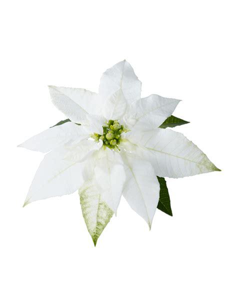 white poinsetta princettia white compact pink white euphorbia