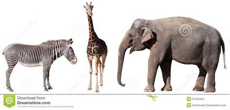 imagenes de jirafas y zebras cebra jirafa y elefante imagenes de archivo imagen