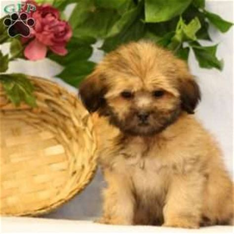 lhasa apso puppies for sale in pa lhasa apso puppies for sale in de md ny nj philly dc and baltimore