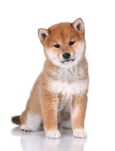 shiba inu carattere aspetto cura e prezzo dei cuccioli