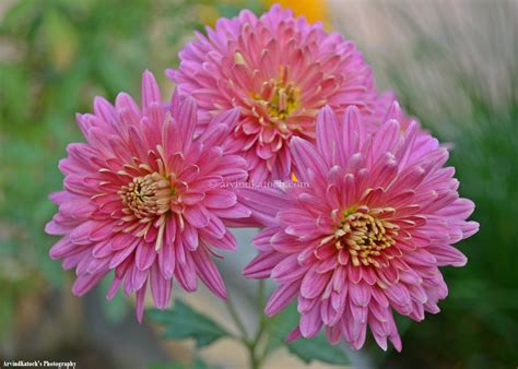 Vs Pink Flower hd picture of three beautiful pink flowers like a bouquet