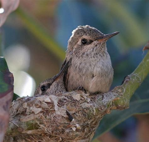 baby hummingbird hummingbird heaven pinterest