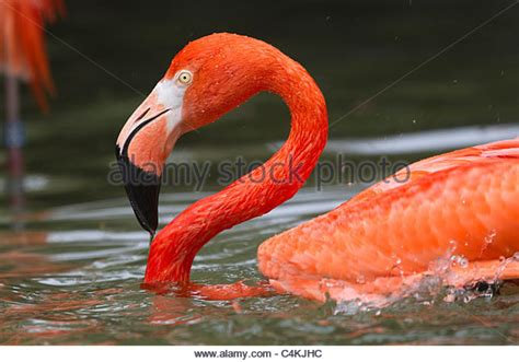 flamingo rubber st greater flamingo stock photos greater flamingo stock