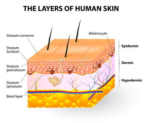 human skin anatomy royalty free vector image vectorstock layers of human skin melanocyte and melanin stock vector illustration of away cell 37423406
