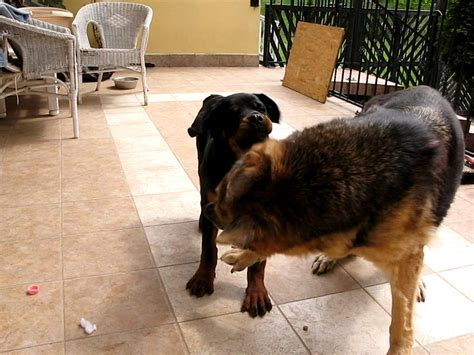 german shepherd vs rottweiler dogfight rottweiler vs german shepherd