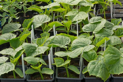 Small Cucumber Plants Grown In Pots Stock Photo Image Garden Ready Vegetable Plants