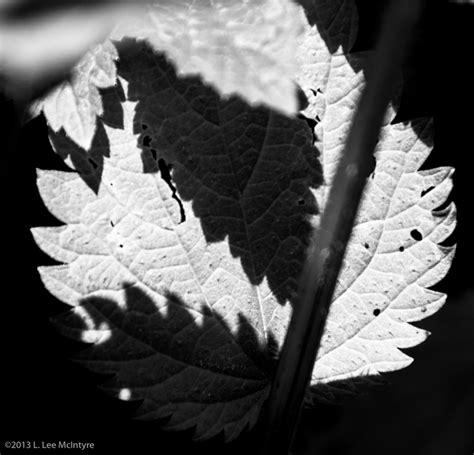 leaf pattern imogen cunningham imogen cunningham clfoto net lee mcintyre