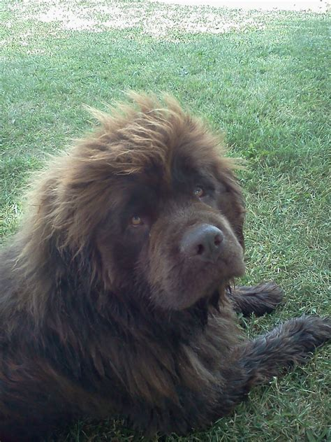 newfoundland puppies illinois newfoundland puppies picture illinois breeders guide