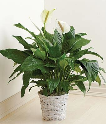 Floor Plants by Floor Plant At From You Flowers