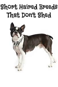 haired breeds that don t shed dogvills