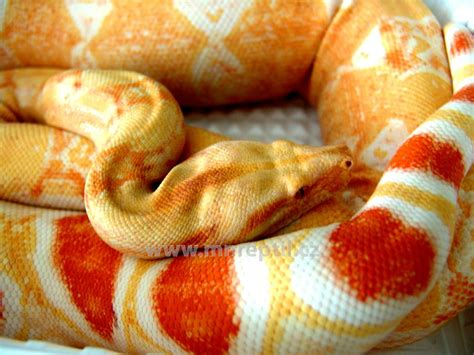 Boa Pastel 1 collection www mnreptil cz captive bred reptiles by