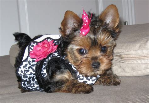 yorkie puppies for sale in va terrier puppies for sale virginia boulevard va 200218
