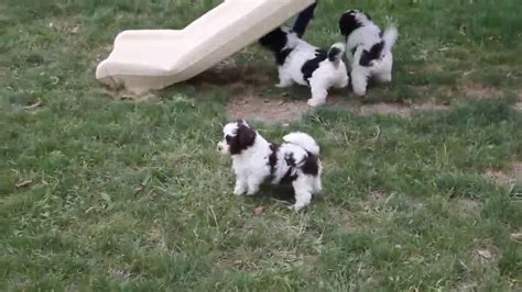 havapoo puppies for sale havapoo puppies for sale