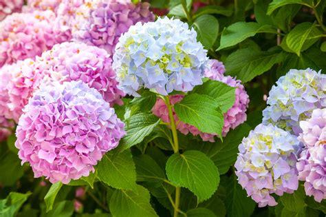 hydrangea change color change color of hydrangea bush how to make hydrangea