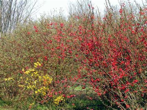 cotogno da fiore chaenomeles japonica c maulei cydonia cotogno da