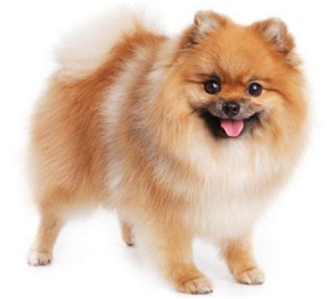everything you need to about pomeranians pom9 pomeraniansclub