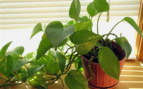 pictures of house plants poisonous to cats the top 10 can t kill houseplants for lazy gardeners