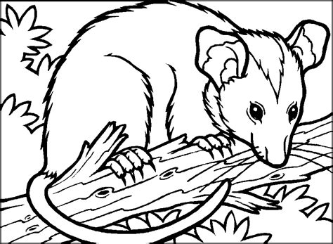 opossum coloring pages coloring home