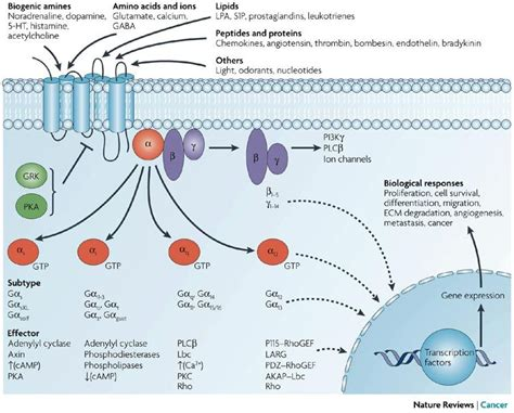 Figure 1: Diversity of G-protein-coupled receptor signalling. G Protein Coupled Receptors Pathway