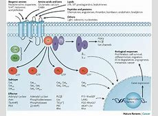 Figure 1: Diversity of G-protein-coupled receptor signalling. G Protein Coupled Receptors Gpcrs