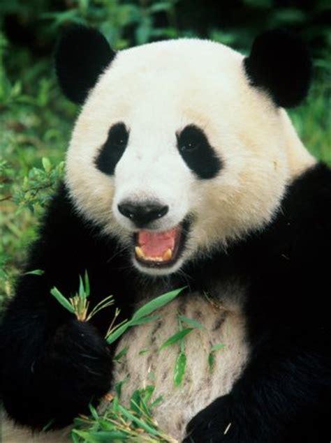 St Panda Biru Kid panda pic wallpaper sportstle