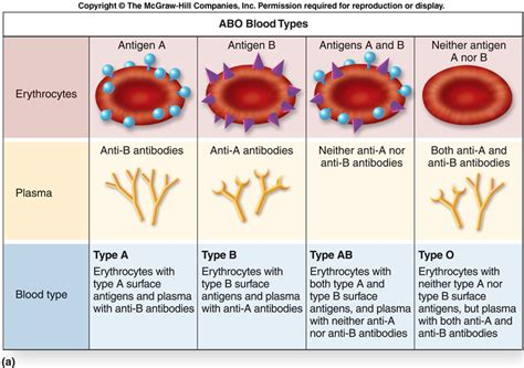 blood diagram anatomy physiology and pathophysiology