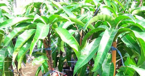 Benih Rambutan Gula Batu bumi hijau nursery 002279488 d benih mangga r2e2
