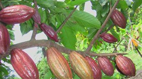 Bibit Tanaman Kakao wapres indonesia wajib menjadi penghasil kakao nomor 1 di