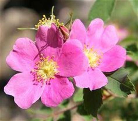 wild prairie rose iowa s state flower serious 1000 images about north dakota symbols on pinterest us